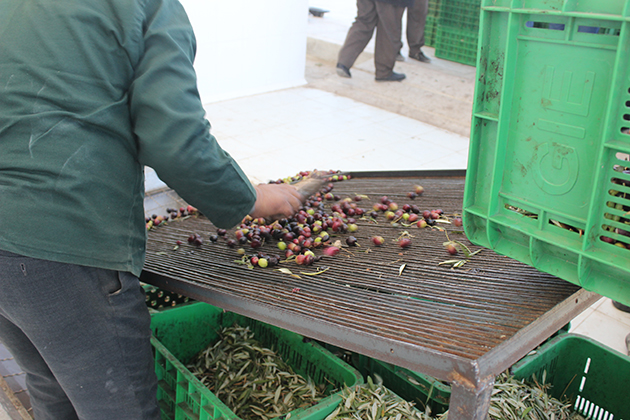 Moroccan fruit tree sorting